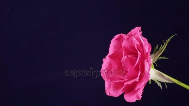 Rózsa Valentin-nap és a víz csobbanás, lassú mozgás