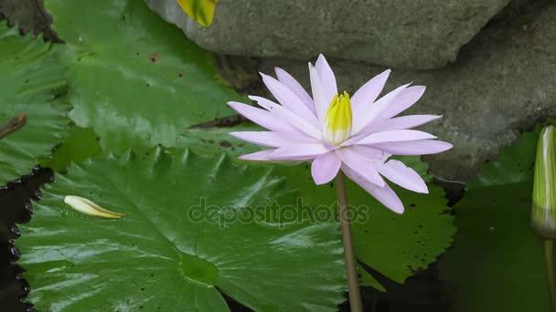 fehér lótusz virágok feltárta a tározó