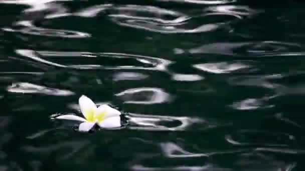 Flower white Plumeria franzhipan floats in pool water in the tropical resort