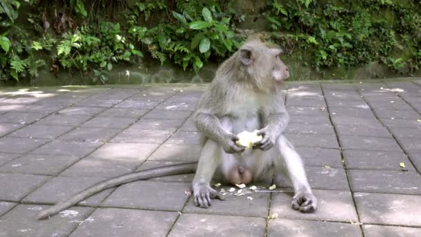 The crab-eating macaque ,Macaca fascicularis, also known as the long-tailed macaque,Sangeh Monkey Forest Bali