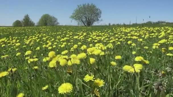Žluté pampelišky květy zjara pole. Dolly video