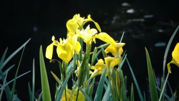 Iris pseudacorus yellow flag, yellow iris, water flag, lever is a species in the genus Iris, of the family Iridaceae