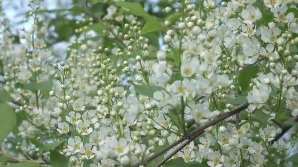 kvetoucí ptačí třešeň s bílými květy a zelenými listy ve slunečném jarním dni, zaměření na střední květy