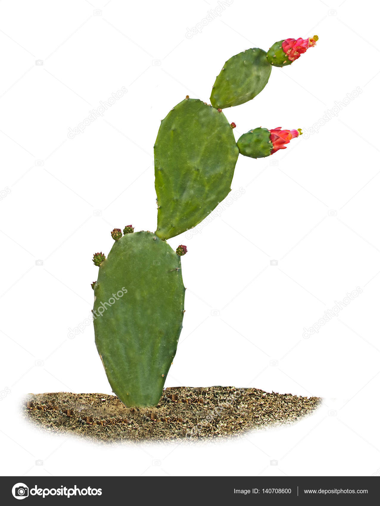 Cactus With Red Flowers Isolated On White Background Stock Photo