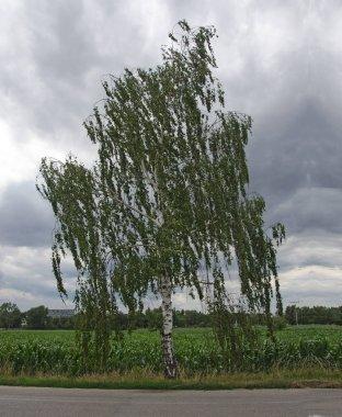 Birch tree at Europe