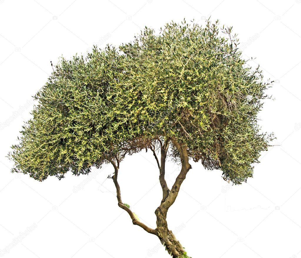 olivier sur fond blanc  u2014 photographie vaeenma  u00a9  190016412