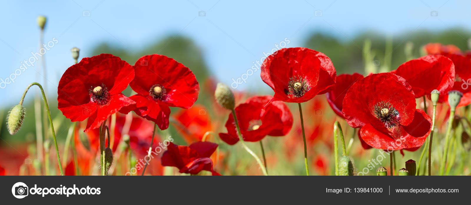 Poppy Flowers In A Field Stock Photo Nitrub 139841000