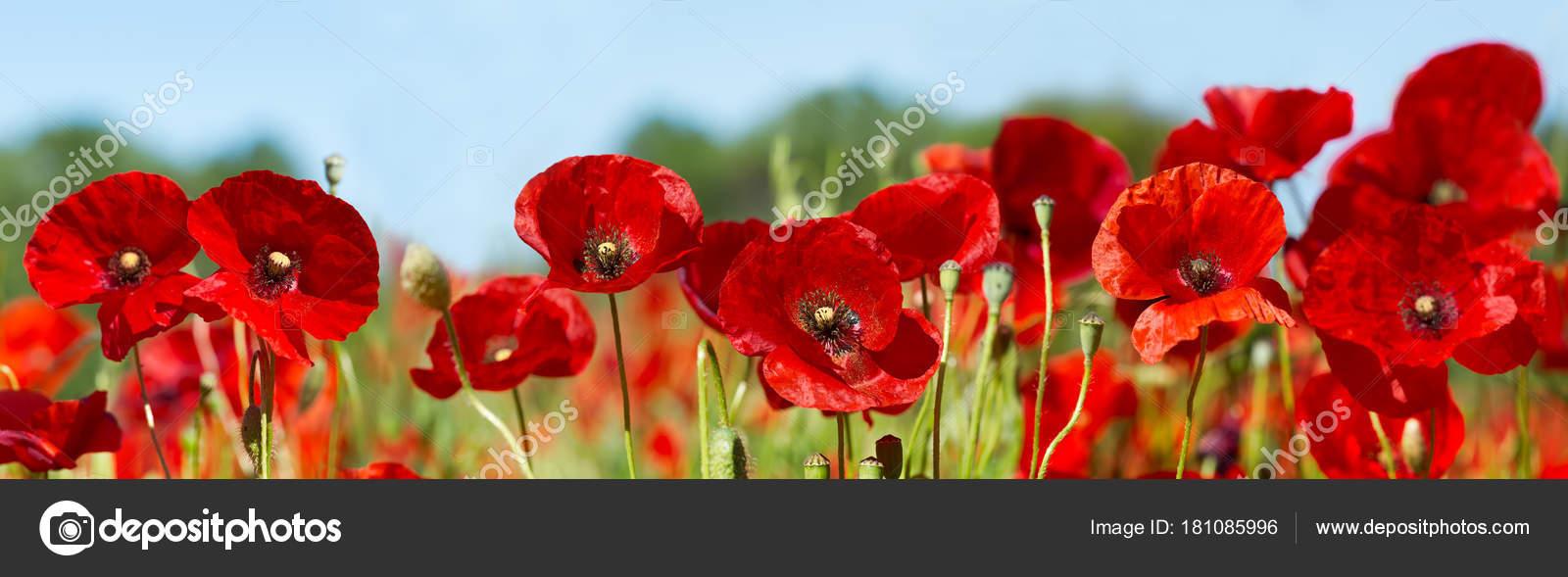 Red Poppy Flowers In A Field Stock Photo Nitrub 181085996