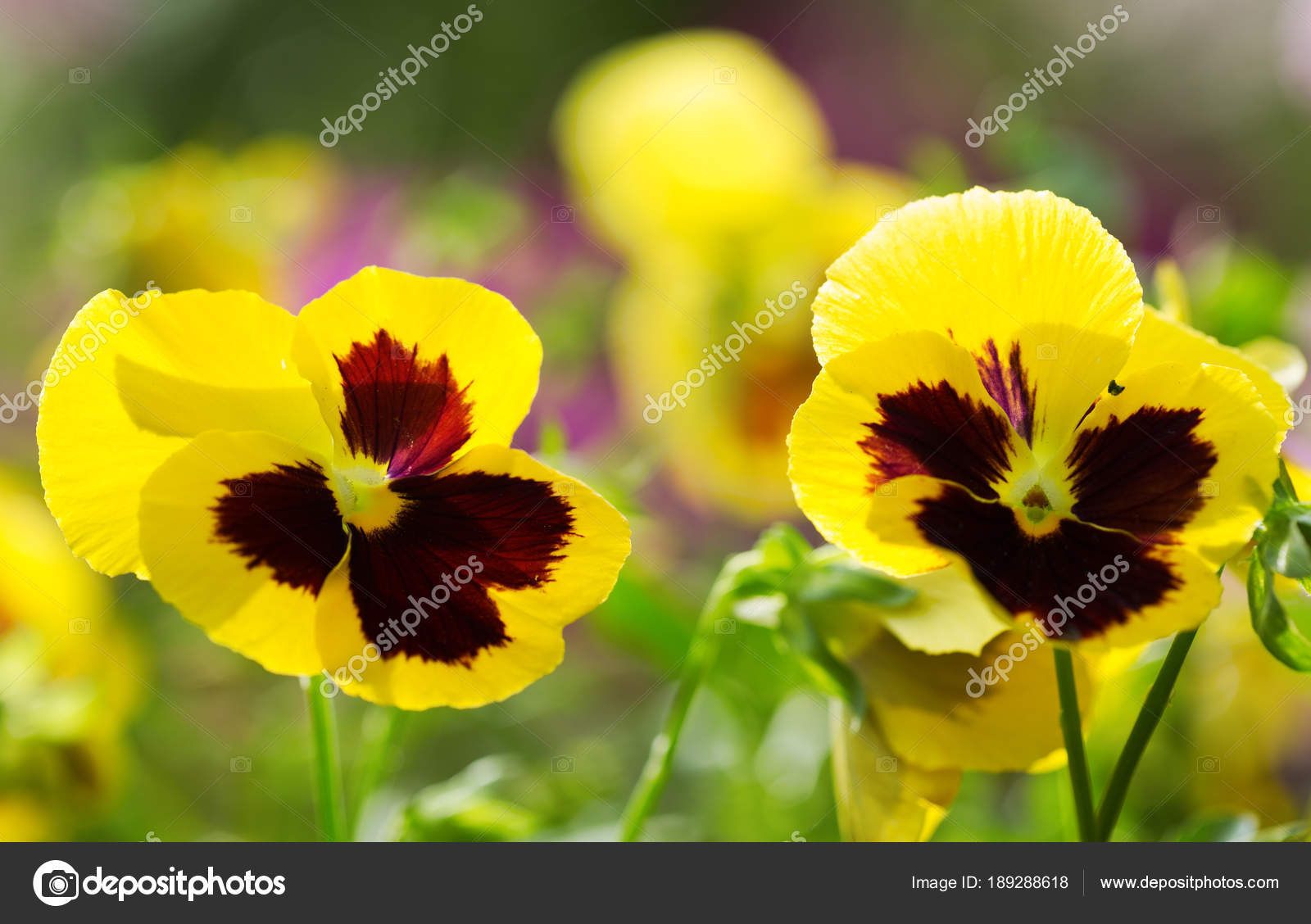 Yellow Pansy Flower Growing In A Garden Stock Photo Nitrub