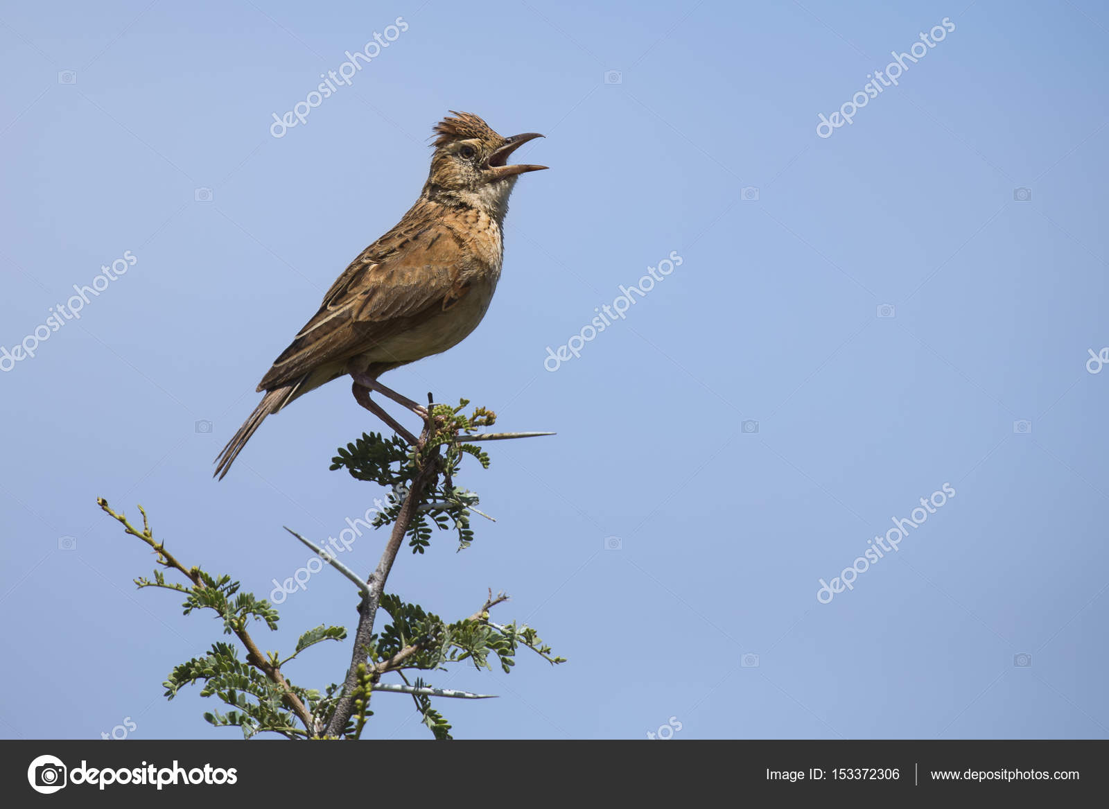 Rufous-naped lark sit on branch and call to claim his territory