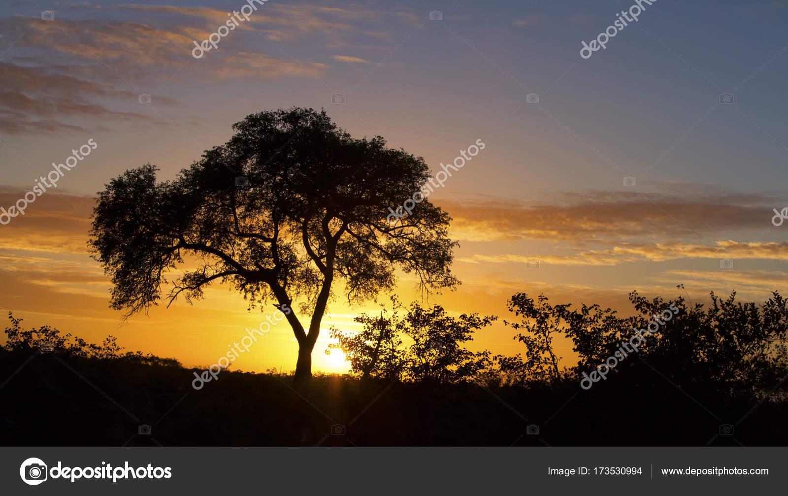 Coucher De Soleil Africain Avec Une Silhouette De Larbre Et