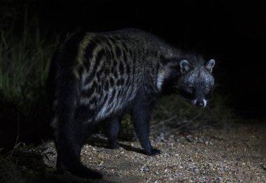 Close-up of a Civet Cat in a spotlight at night
