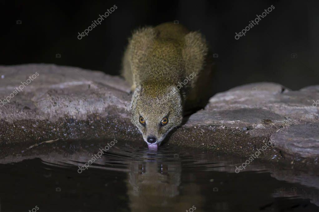 Yellow Mongoose drinks water from a waterhole in Kalahari desert