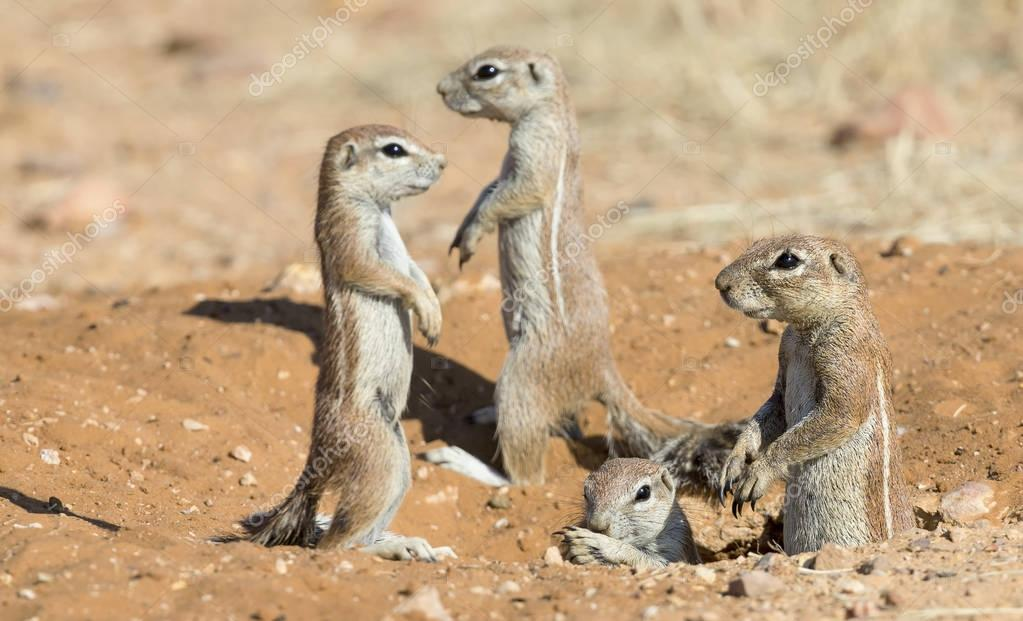Family of Ground Squirrels carefully come out of their burrow in