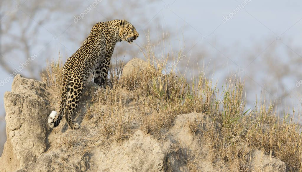 Lone leopard sit down resting on anthill in nature during daytim