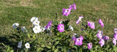 Petunia flowers, bright colorful flowers close-up.