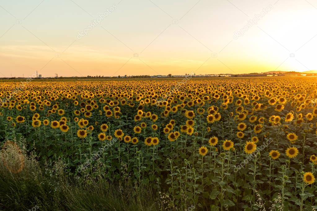 Sunflowers field near Arles  in Provence, France.