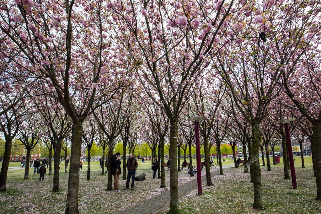 Garden with flowering trees inspired by Van Gogh paintings between the Van Gogh museum and the Rijksmuseum on a spring day. Amsterdam, Netherlands