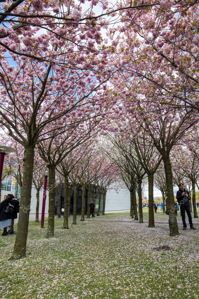 AMSTERDAM, NETHERLANDS - APRIL 22, 2017: Garden with flowering trees inspired by Van Gogh paintings between the Van Gogh museum and the Rijksmuseum on a spring day. Amsterdam, Netherlands