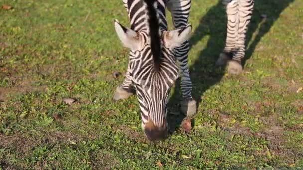 Grant Zebra (Equus quagga boehmi) eszik fű