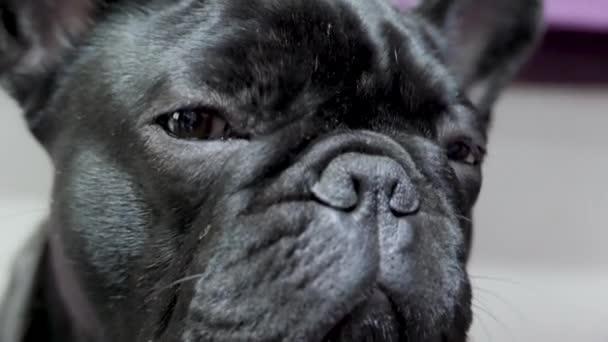 Aranyos és vicces kölyök francia bulldog