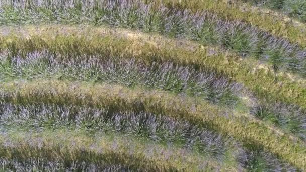 wunderschöne Lavendelblüten von oben in Koroshegy