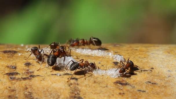 les fourmis mangent le sucre vid o andrewprist 154528068. Black Bedroom Furniture Sets. Home Design Ideas