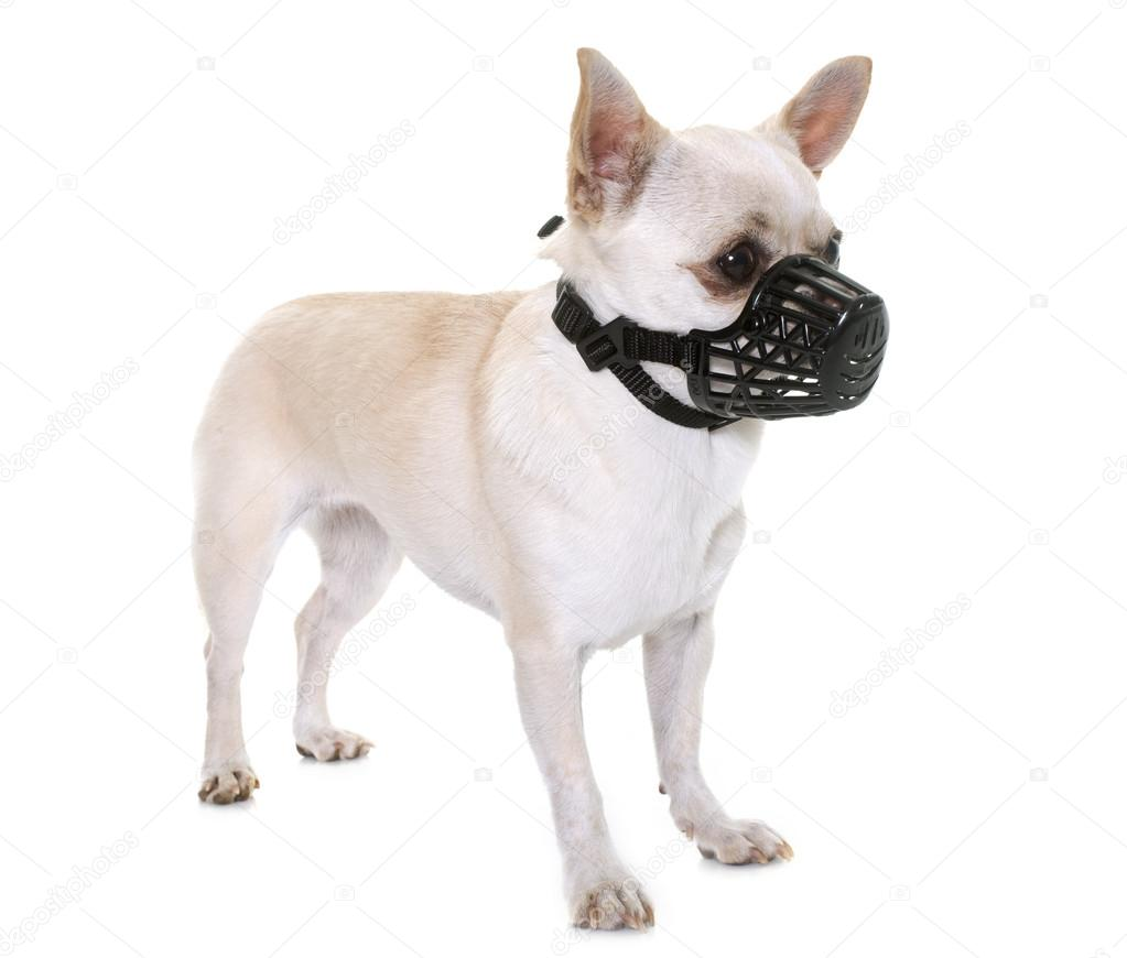 depositphotos_125463216-stock-photo-chihuahua-and-muzzle.jpg