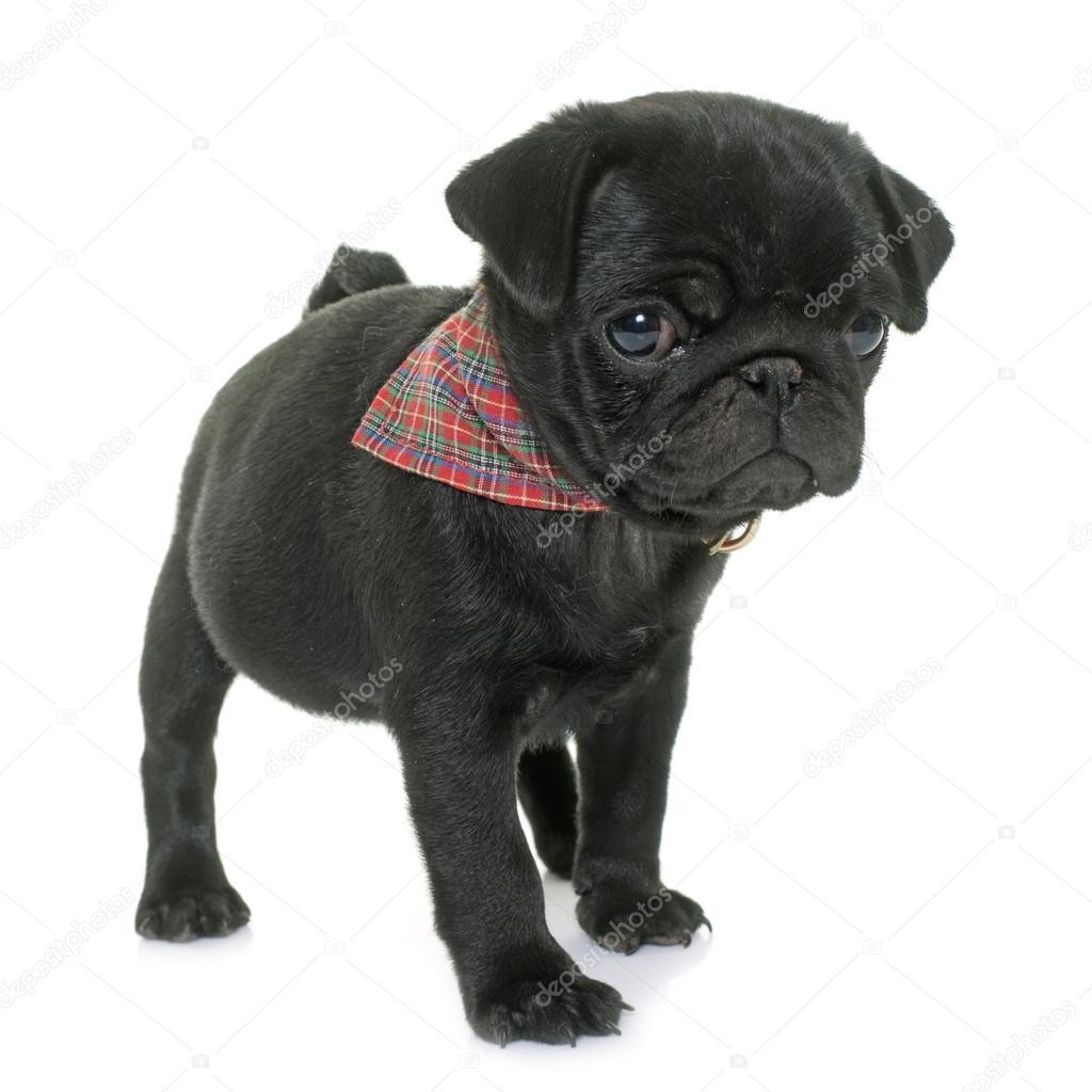 svart Puppy tranny med stor kuk