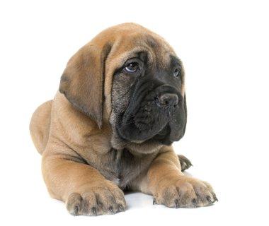 puppy bull mastiff