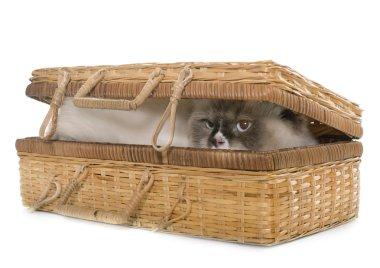 english longhair cat in basket