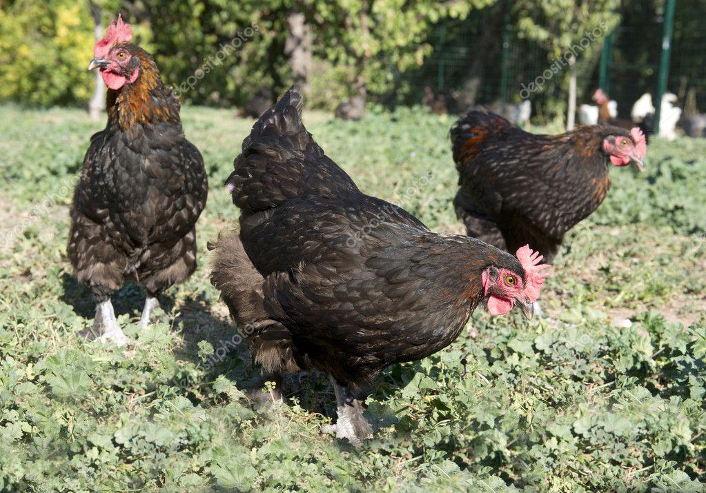 marans kippen in de tuin — stockfoto © cynoclub #128194902