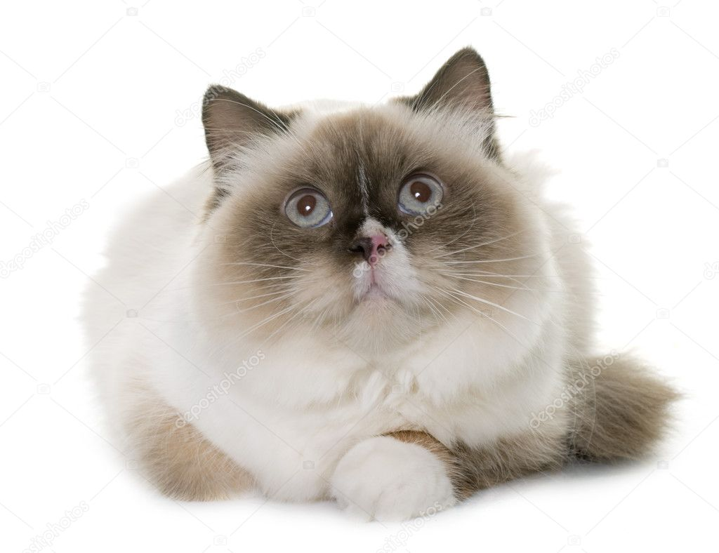 Angielski Długowłosy Kot Zdjęcie Stockowe Cynoclub 128198970
