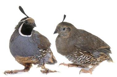 California quails in studio