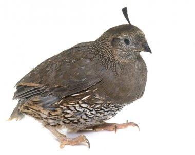 California quail in studio