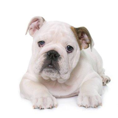 puppy english bulldog and chihuahua