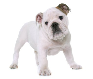 puppy english bulldog
