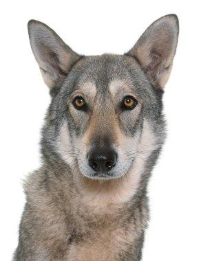 Saarloos wolfdog in studio