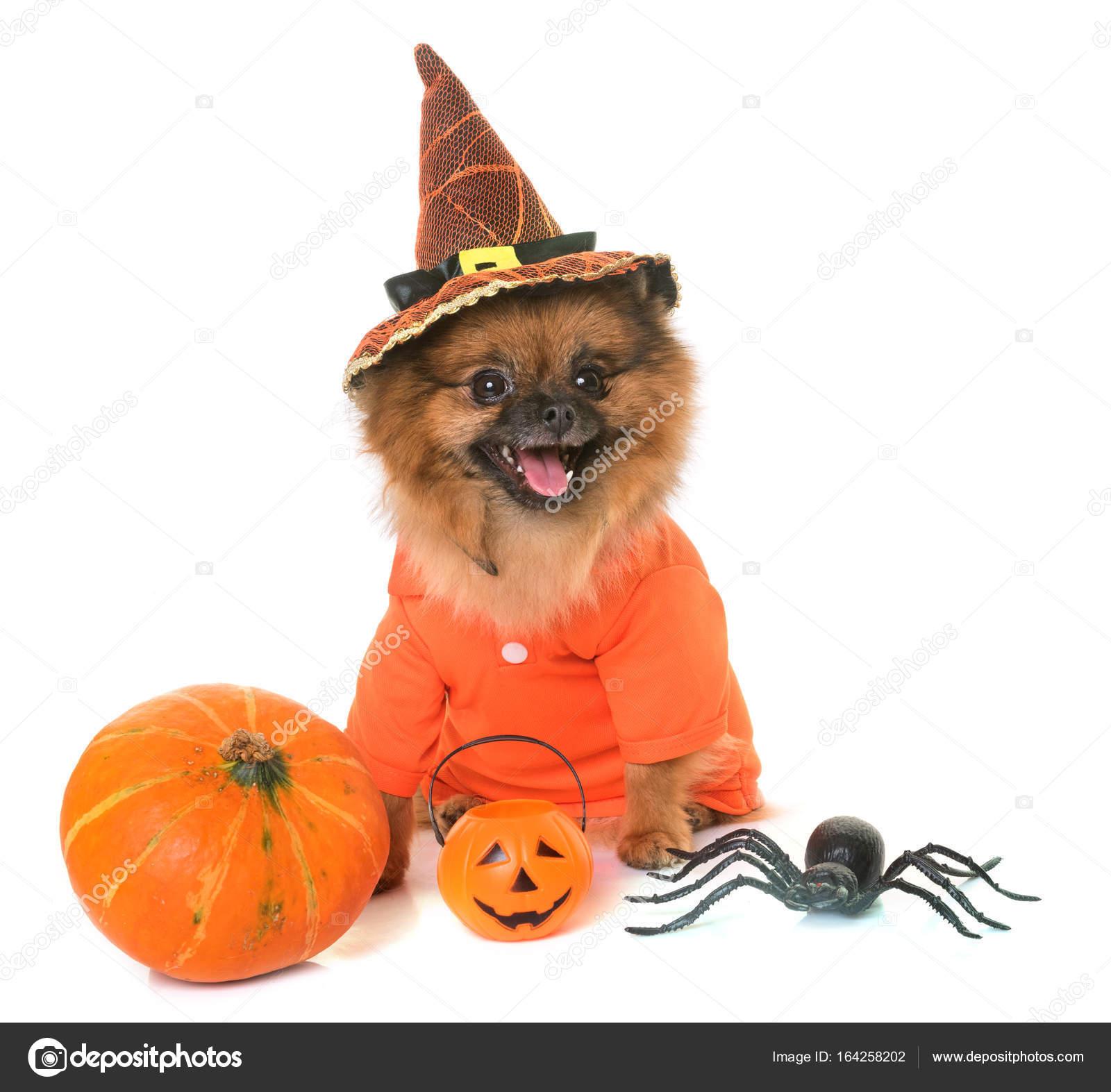 pomeranian spitz and halloween — stock photo © cynoclub #164258202