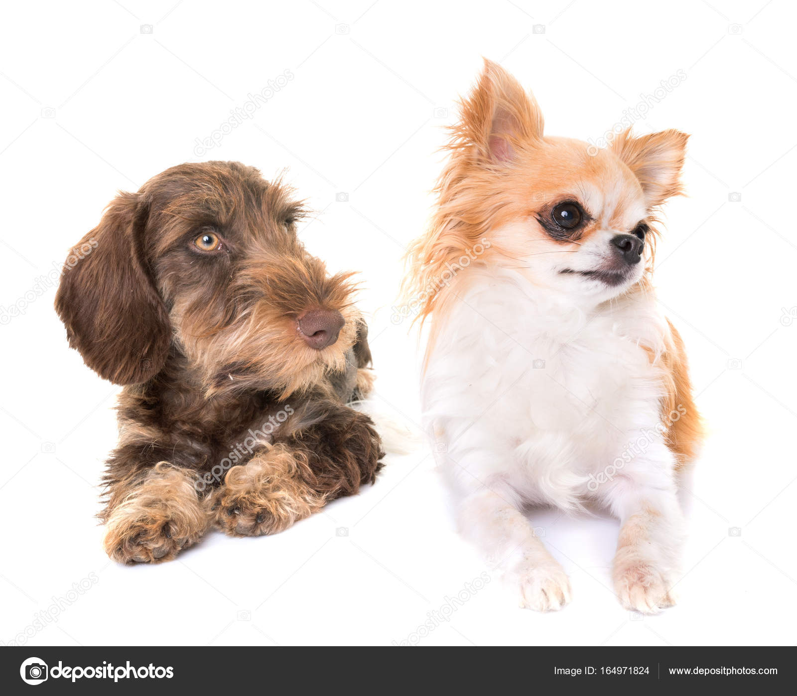 puppy Wire-haired Dachshund and chihuahua — Stock Photo © cynoclub ...