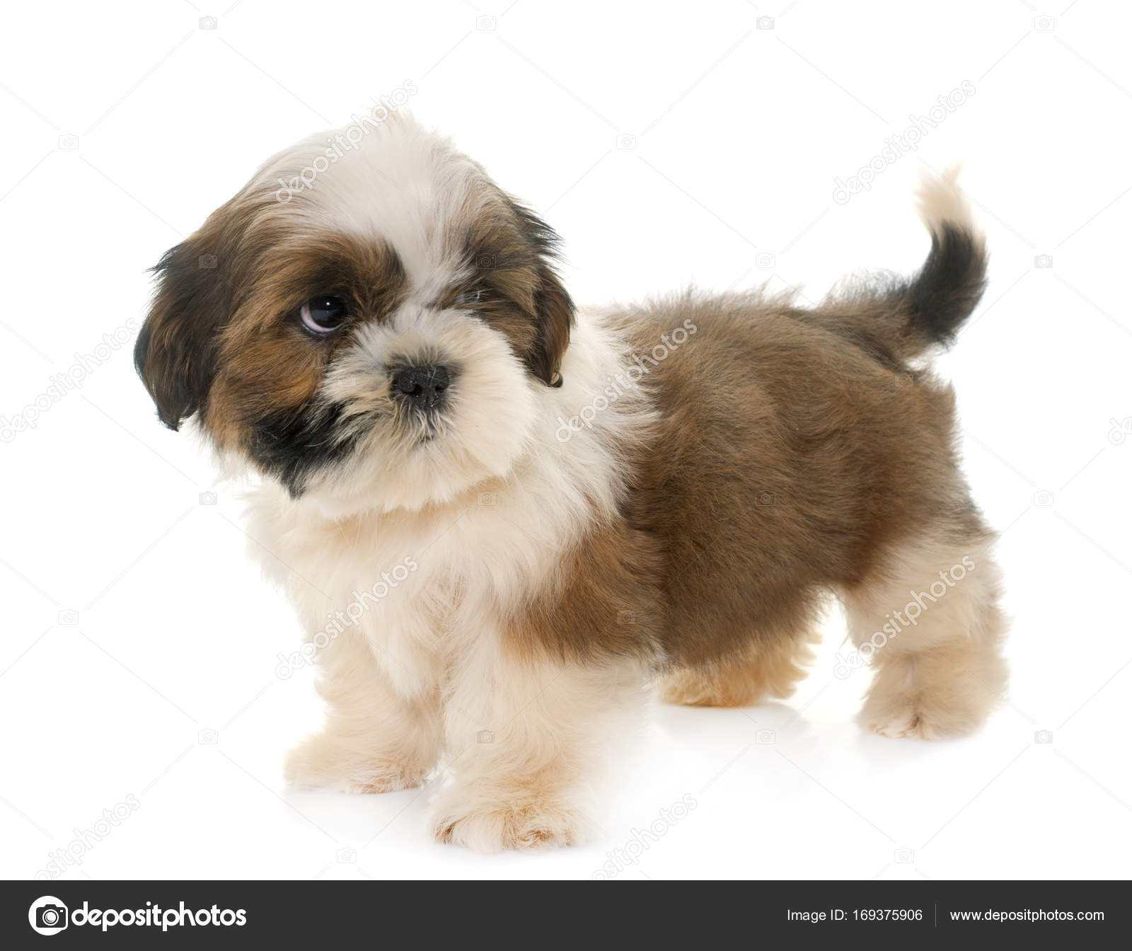 Small Dog Shih Tzu