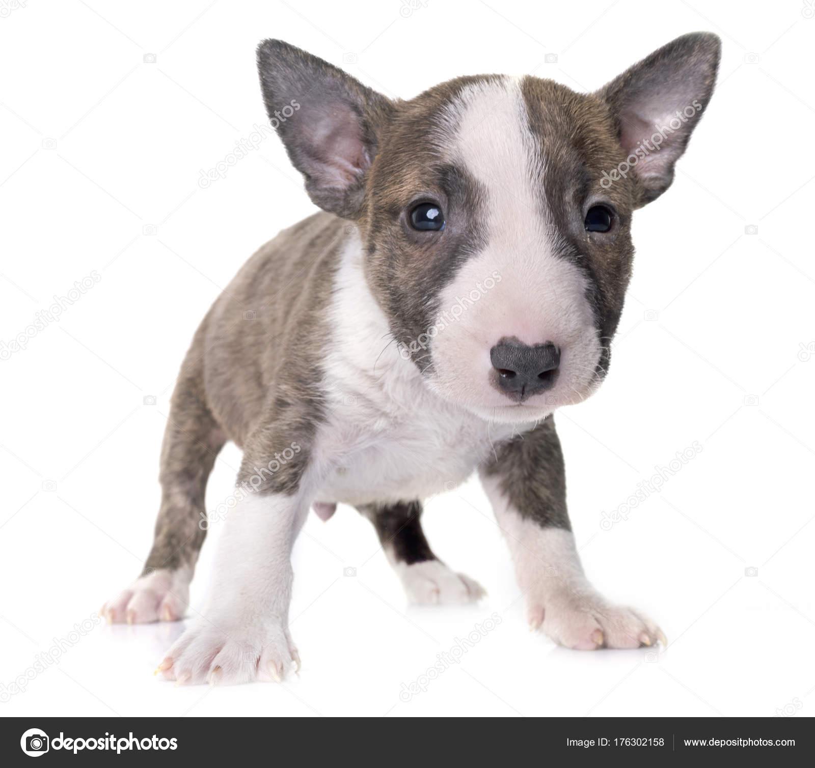 miniature bull terrier stock photo cynoclub 176302158
