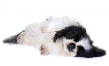 Pekingese dog in studio