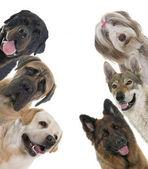 Skupina psů
