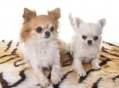 Chihuahua stúdió