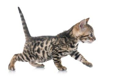 Bengal yavru kedi Studio