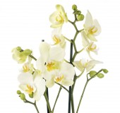 Fotografie můra orchideje před bílým pozadím