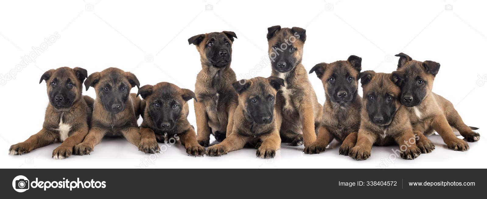 Anak Anjing Malinois Di Studio Stok Foto C Cynoclub 338404572