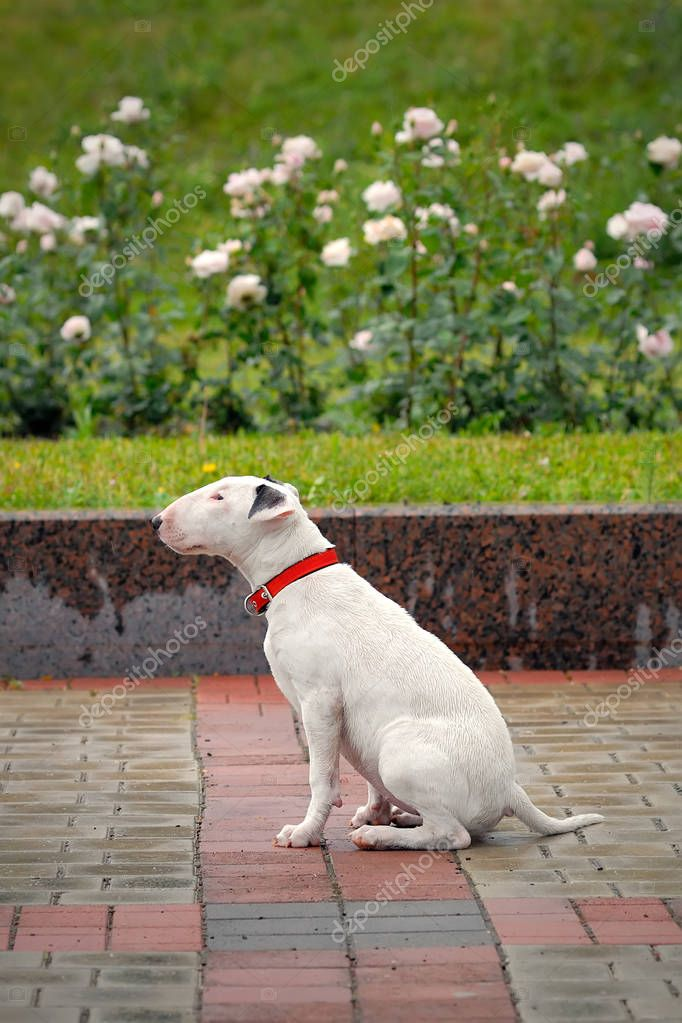 Bullterrier with sad eyes after the rain.