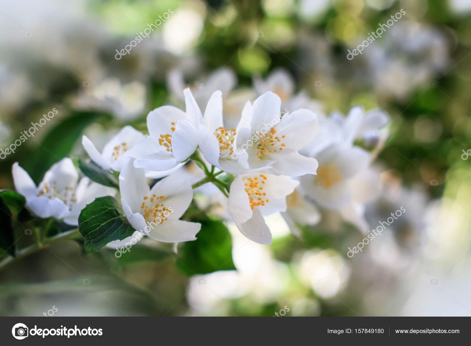 fleurs de jasmin sur fleur de l'arbuste — photographie angel_a